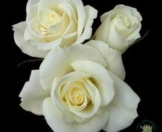 Escimo - Standard Rose - Roses - Flowers by category | Sierra Flower Finder