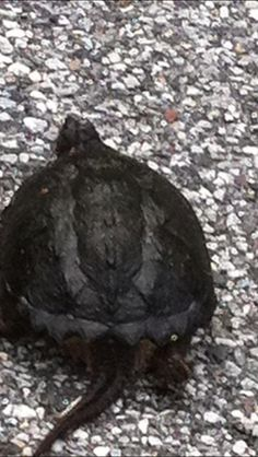 Snapping turtle I found in my yard