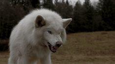 Arktischer Wolf, Snarling Wolf, Timberwolf, Arctic Wolf, Anime Wolf, Aesthetic Gif, White Aesthetic, Werewolf, Teen Wolf