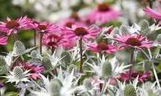 Garden ideas, Border ideas, Plant Combinations, Flowerbeds Ideas, Summer Borders, Echinacea purpurea, Coneflower, Sea Holly, Eryngium Giganteum, Coneflowers, Pink flowers, Purple flowers