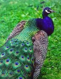 peacock - Hledat Googlem