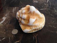 Seashells Solo Shell Caribbean Sea Shells Beach by AmorNtheBox