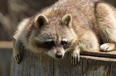 Raccoon on a log. Royalty Free Photos, Pictures, Photography, Animals, Image, Photos, Photograph, Animales, Animaux