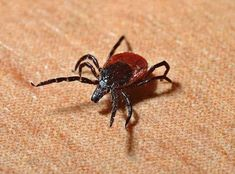 Lyme disease sickens per year in the U. alone, according to the CDC! Learn more about the different ways (BESIDES a tick bite! the symptoms (Lyme can mimic over 350 different diseases), and treatments. Lyme Disease Prevention, Disease Symptoms, Termite Pest Control, Rocky Mountain Spotted Fever, Tick Removal, Tick Bite, Best Pest Control, Endocannabinoid System, Salud Natural