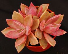 Graptoveria 'Douglas Huth' ~ This is a fantastic Graptoveria with a really nice form and interesting colours. In full sun it turns vibrant pink and in shade it turns bluish, hence its synonyms 'Dr Huth's Pink' and 'Dr Huth's Blue'. Care info: http://nurserylive.com/buy-cactus-succulents-plants-online-in-india/graptoveria-douglas-huth-plants-in-india