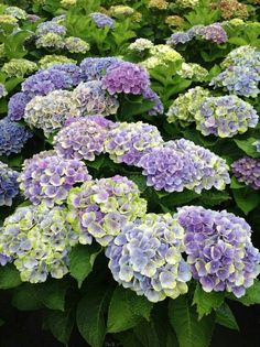 Hydrangea Violet Crown 3'-4' Tall 3'-4' Wide Deciduous Blooms in Late Spring to Frost Plant in Part Shade in Acidic soil that is Moist Growth Rate is Medium www.greenprintLED.com