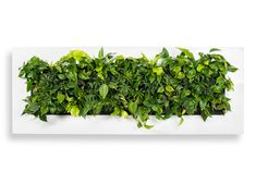 Do you buy plant paintings? With the Mobilane UK LivePicture, innovation, design and colour come together in a unique way to allow you to play artistically. Vertical Plant Wall, Indoor Plant Wall, Indoor Garden, Plant Painting, Garden Painting, Buy Plants, Green Plants, Interior Plants, Interior Ideas