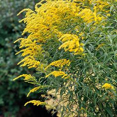 A spectacular charmer in the fall garden, goldenrod bears fluffy clusters of golden-yellow blooms.