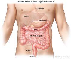 Anatomía del aparato  gastrointestinal (digestivo); muestra el esófago, el hígado, el estómago, el colon, el intestino delgado, el recto y el ano.