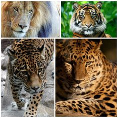 hybrid leopard and lion - Buscar con Google