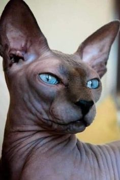 Sphynx Gato, Chat Sphynx, Hairless Cats, Sphynx Cat Black, Pretty Cats, Beautiful Cats, Animals Beautiful, Cute Animals, Pretty Kitty