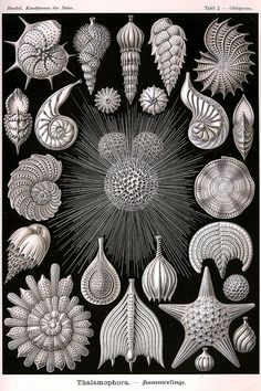 02 | Globigerina - Thalamophora lens-shaped planktonic Foraminifera marine protozoan. {Domain: Eukaryota. Kingdom: Rhizaria. Superphylum: Retaria. Phylum: Foraminifera. Order: Globigerinida. Family: Globigerinidae. Genus: Globigerina.}