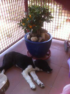 Modo siesta. Border Collie #bordercollie