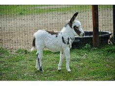 Mini Donkey!!!!!!! I need this!!!!