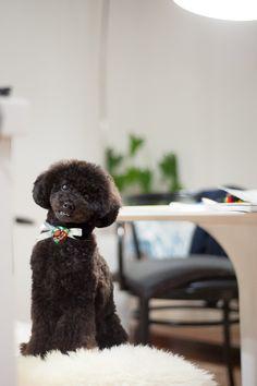 I'm home from lovely #haicut ♥ #toypoodle #blackpoodle #bluepoodle