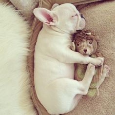 Little nugget and Mr. Hedgehog, French Bulldog Puppy.