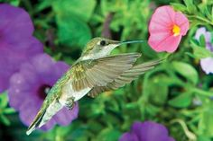 Winter hummingbirds