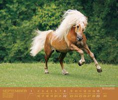 haflinger horses | Bergschönheiten: Haflinger 2013 » Kalender » HORSEtoday