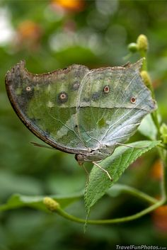 Clouded Mother of Pearl Butterfly - Bridgetown, England. Just when the caterpillar thought it was over she became a butterfly
