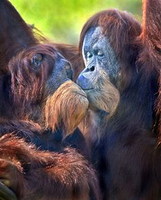 Two orangutans share a tender moment. Photo by Ion Moe