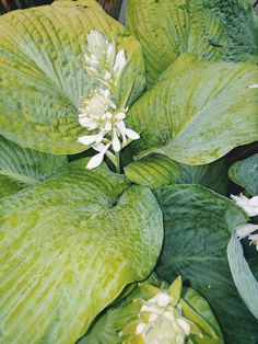 Love hostas♥🌿 Plant Leaves, Garden, Plants, Garten, Lawn And Garden, Flora, Gardening, Outdoor, Plant