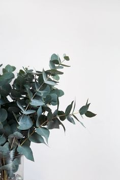 L'Eucalyptus – Notre green touch' de l'Hiver - Best of Wallpapers for Andriod and ios Eucalyptus Leaves, Eucalyptus Oil, Bedroom Wallpaper Nature, Wallpaper Plants, Bouquet D'eucalyptus, Green Leaves, Plant Leaves, Plant Aesthetic, Color Photography