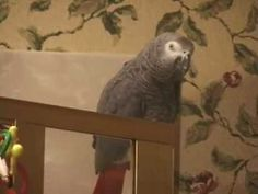 Einstein the Parrot talks about yummy foods for dinner!  parrotfood Talking  Parrots 2315c9e25d