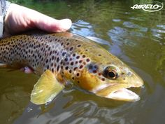 Big thanks to the Airflo Super-Dri Elite fly line for this beautiful Usk Trout!