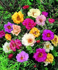 Portulaca Sunnybank - Double Flowered Mixed
