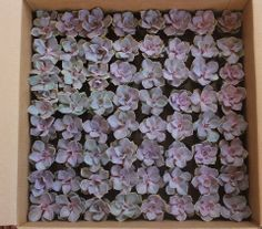 """Perle Von Nurnbergs. These are all in their plastic round 2.5"""" containers, $2.50 each, any quantity available, we ship them all over the US. thesucculentsource@gmail.com with any questions TheSucculentSource"""