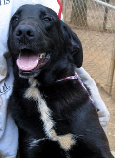JJ is an adoptable Labrador Retriever, Plott Hound Dog in Dawson, GA JJ is one of a family of dogs that was rescued by one of our foster homes from an elderly woman ... ...Read more about me on @Petfinder.com.com.com.com.com.com