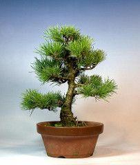 Pino blanco japonés bonsai - Invierno 2010 - HDR