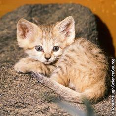Meet the Elusive Sand Cat