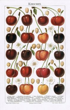 1902: Cherries: Extremely decorative European Chromo Lithograph Art Poster
