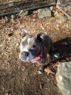 Mikayla is a sweetheart! Meet Makayla. She is so stunning. Such a sweet girl. Loves to play fetch. She brings the ball back to you so you can throw it again. Knows sit and takes treats nicely. To foster or adopt this animal please fill out the...