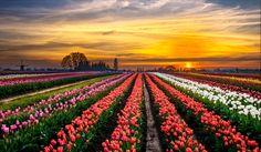 Пейзаж Поля Тюльпаны Рассветы и закаты Много Цветы Природа
