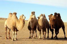 Alpacas, Taklamakan Desert, Bactrian Camel, Evolutionary Biology, First Humans, Mongolia, South America, Africa, Cats