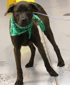 ADOPTED>NAME: Len  ANIMAL ID: 34665114  BREED: Retriever  SEX: male (neutered)  EST. AGE: 1 yr  Est Weight: 52 lbs  Health: heartworm neg  Temperament: dog friendly, people friendly  ADDITIONAL INFO: RESCUE PULL FEE: $35  Intake date: 2/16  Available: Now