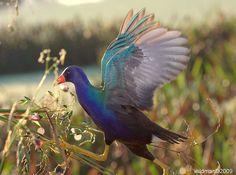 purple gallinule  (photo by wildmanfla)