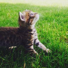 Nala, chaton, kitten