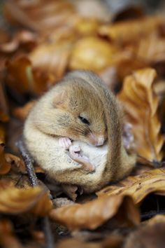 Hazel dormouse sleeping in the leaves