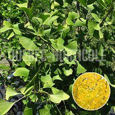 image de Ginkgo biloba Autumn Gold Plant Leaves, Photos, Vegetables, Plants, Gardens, Pictures, Vegetable Recipes, Plant, Veggies