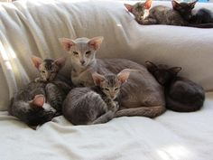 Oriental Shorthair Cat and Kittens, Cattery Yarisho, The Netherlands