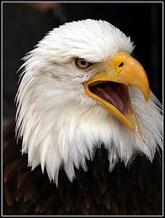 Hot on the heals of our article on improving your wildlife photography, we decided to get together a collection that demonstrate some of the good habits . Eagle Images, Eagle Pictures, Lion Images, Bird Pictures, Eagle Artwork, Aigle Animal, Bold Eagle, Lion King Poster, Eagle Wallpaper