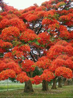 Just extraordinary! Poinciana Tree in flower Delonix Regia, Beautiful Landscapes, Beautiful Gardens, Beautiful Flowers, Unique Trees, Colorful Trees, Bonsai, Flame Tree, Nature Tree