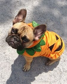 For the Love of Dog: MSLO Employees and Their Pets | Meet Eli the Frenchie! He is wearing the #marthastewartpets pumpkin costume. Get yours @petsmartcorp today!