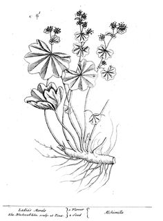 Image result for lady's mantle black and white drawing