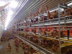 Commercial Chicken House commercial poultry house pictures | nigeria control poultry farm
