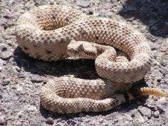 Ban Gassing of Rattlesnakes