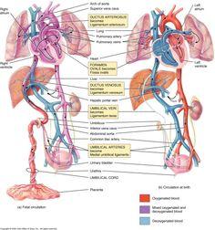 ": "" Obligatory Anatomy Diagram of the Day: Fetal and Post-Natal/Adult Circulation in Juxtaposition [x] "" Newborn Nursing, Ob Nursing, Postpartum Nursing, Newborn Care, Newborn Assessment, Anatomy Flashcards, Heart Circulation, Respiratory Therapy, Midwifery"